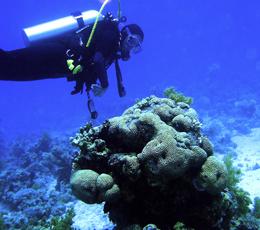Bild Taucher an Korallen